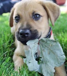 - Labrador Retriever/German Shepherd Mix. Want more? Follow:http://dogsandpupsdaily.tumblr.com/