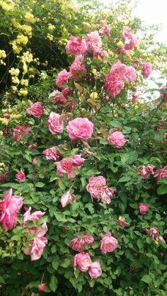 Mis rosas.favoritas