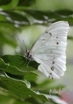 White Butterfly so beautiful!