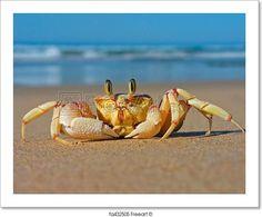 """Alert sand crab on beach, southern africa"" - Art Print from FreeArt.com"