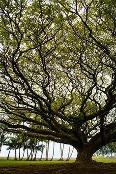 Hilo, Hawaii, Albizio trees, island