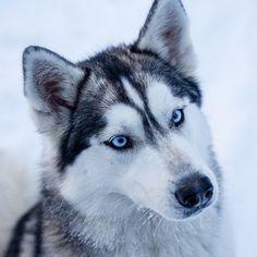 Siberian Husky #husky #siberianhusky