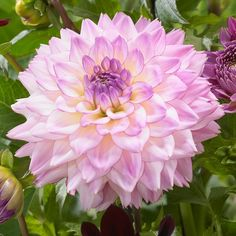 Dahlia Colorful Investment. This stunning introduction from Holland has a buttery yellow center that fades to creamy white and the petals are tipped with lavender-pink.