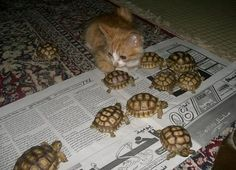 A kitty and her turtles - credit to: swipurr.com