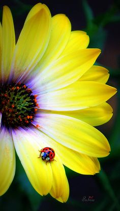 A ladybug on an African Daisy.  I adore the iridescent purple centers in African daisies (osteospermum).