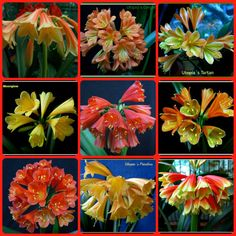 Our favourite interspecific clivias of 2013