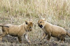 Two Lion Cubs From The Marsh Pride Play Fighting Masai Mara...