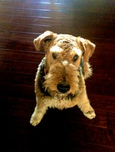 Airedale looking cute
