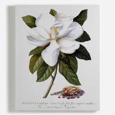 """Georg Dionysius Ehret, Magnolia grandiflora, Bull Bay, Watercolour and gouache on vellum. """" Ehret always favoured the pictorial rather than the diagrammatic style of botanical illustration. Art Floral, Floral Artwork, Floral Wall, Illustration Botanique, Illustration Blume, Nature Illustration, Vintage Botanical Prints, Botanical Drawings, Vintage Botanical Illustration"""