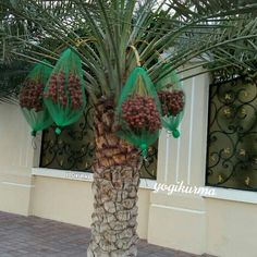 Fresh Dates, Backyard Trees, Cool Plants, Trees To Plant, Tropical, Gardening, Tree Planting, Lawn And Garden, Horticulture
