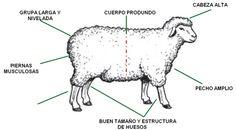 razas de ovejas de carne - Buscar con Google