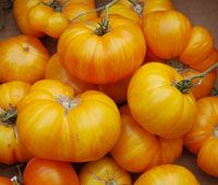 Big Yellow Zebra Heirloom tomato - Solanum lycopersicum