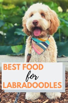 Best Dog Food for Labradoodles - Labradoodles & Dogs Mini Labradoodle Puppy, F1b Goldendoodle, Australian Labradoodle, Best Puppy Food, Daily Exercise, Doodle Dog, Labrador Retriever Dog, Bull Terrier Dog, Bernese Mountain