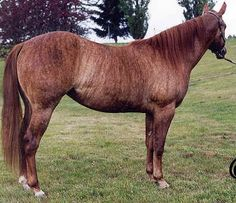 Brindle coat: rare on horses