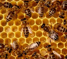 Are GMOs Killing Our Honey Bees?