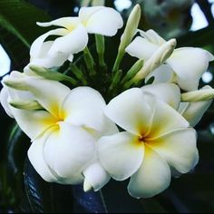 Straight on the branches! #flower #tropical #paradise #travel #beautiful #naturephotography #natural #nature #photography #sun #warm #pretty #bundles #maui #hawaii #hawaiilife #exploring #relaxing #vacation #photography #flowers #finding #naturewalk #adventures #happyme #loveit❤️ http://tipsrazzi.com/ipost/1512133894710178662/?code=BT8LcP_BzNm