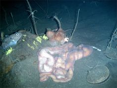 """Nemertea, or the Ribbon Worm is a phylum of invertebrate animals also known as """"ribbon worms"""" or """"proboscis worms"""". Scariest Monsters, Ugly Animals, Sea Floor, Animal Skeletons, Sea Ice, Deep Blue Sea, It Goes On, Antarctica, Ocean Life"""