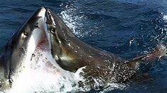 Shark vs shark: giant great white attacks another great white..http://www.msn.com/en-gb/video/watch/shark-vs-shark-giant-great-white-attacks-another-great-white/vi-115b0d25-68ca-de64-3b1a-4a6463508c83