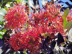 "Firewheel Tree. ""What's Blooming In Santa Barbara These Days""  http://joy-us.com/blog/?p=3650"
