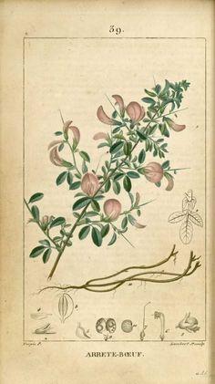 Botanical Drawings, Botanical Prints, Floral Prints, Nature Illustration, Botanical Illustration, Impressions Botaniques, Illustration Botanique, John James Audubon, Fauna