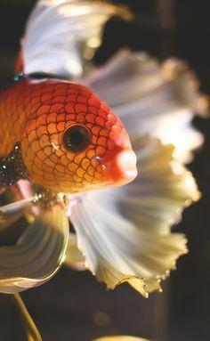 http://artsland.ru/job/view/3640  Betta splendens с латинского или бойцовая рыбка, сиамский петушок. Вдохновением для этой работы послужила фотография известного фотографа и очень хорошего человека из Тайланда Visarute Angkatavanich. Работа выставляется на продажу с его согласия.