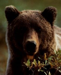 Grizzly Bears are powerful, frightening, huge, beautiful and magnificent!    I will not lie, if I happened to be frolicking in the woods and a grizzly...