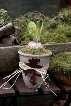 Potted Hyacinth with tied leaf decoration. Mossy greens, dark burgundy, and aged wood tones.