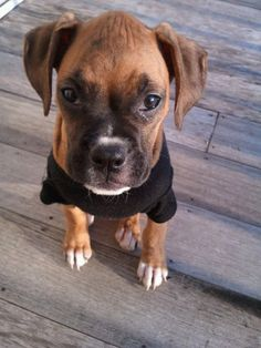 I love Boxers! Great dog. I had one for nearly 8 years. Her name was Diamond and she was a great dog. I miss her. she will always be my favorite Boxer. I can't wait to get another Boxer...