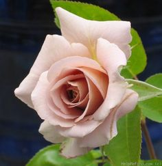 'Spiced Coffee ' Rose