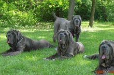 Cani di taglia grande