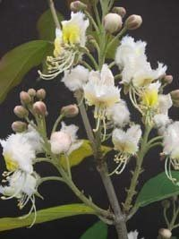 Has a scent that the vendor compares to a' fruity perfume'-Hiptage benghalensis Hiptage, Helicopter Flower 3 seeds HG http://www.amazon.com/dp/B008A7FU8C/ref=cm_sw_r_pi_dp_QmqHvb080MJA7