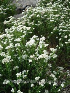 Detailed description of the Rice Flower (Ozothamnus diosmifolius) 'Radiance' cultivar/variety. Australian Flowers, Get Rid Of Mold, White Gardens, Spring Has Sprung, Native Plants, Dream Garden, Garden Plants, Planting Flowers, Outdoor Living