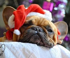 Christmas Holiday Cuteness overload! French Bulldog in a Santa Hat, what a Face ; )