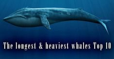 The longest and heaviest whales – TOP 10