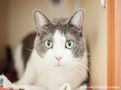Meet CHARLIE, a Petfinder adoptable Domestic Short Hair Cat | Pittsburgh, PA | Hi there, my name is Charlie!!!I am a 9 year young, short haired haired, gray and white cat.I am a...
