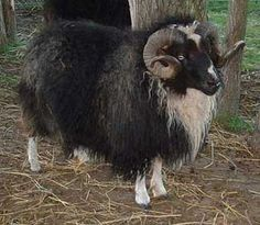 icelandic sheep.  a beautiful ram from the ISBONA website