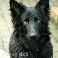 """""""Look into my eyes!"""" Black German Shepherd Dog"""