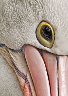 Pelican eye ... pelicans are very curious and sweet ... their giant beaks are soft with the edges being a lil rough but they don't hurt ... saved manyyyyyy pelicans by removing fishing lures that clamped their beak closed ... <3