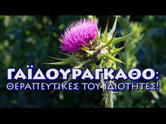 Γαϊδουράγκαθο! Οι θεραπευτικές του ιδιότητες! 1 Βίντεο. - YouTube Herbalism, Cooking Recipes, Herbs, Youtube, Plants, Herbal Medicine, Chef Recipes, Herb