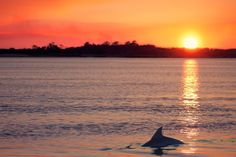 """Dolphins at Sunset Photograph - fine art photography from John's Island, SC, beach decor. Title:Dolphins at Sunset Photographer: Megan Campbell Sizes: 8x10, 8x12, 11x14, 12x18, 16x20 his listing is for one (1) print of my photograph """"Dolphins at Sunset"""" printed onto Canon pro-lustre photo paper. You have the option of purchasing the photograph as-is or matted with Bainbridge Bright White acid free matboard. Matting adds a finishing touch and an extra layer of protection to prints. All…"""
