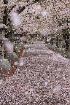 Pink falling cherry blossoms...looks like it's snowing