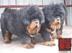 Unbelievably Massive Tibetan Mastiff Puppies!!!