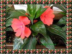 Kwiaty doniczkowe w moim ogrodzie | Babcia radzi, coś tam ...
