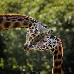 Giraffe l♥ve. Marina Cano is a talented and internationally-renowned nature photographer that takes stunning photographs of wild animals. Animals Of The World, Animals And Pets, Baby Animals, Cute Animals, Wildlife Photography, Animal Photography, Wild Photography, Beautiful Creatures, Animals Beautiful