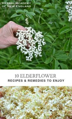Herbal Remedies 10 Elderflower Recipes and Remedies to Enjoy - Here is an assortment of elderflower recipes and remedies to try yourself. Like me, I hope you find the flower an alluring early-summer resource! Healing Herbs, Medicinal Plants, Natural Healing, Natural Oil, Holistic Healing, Natural Beauty, Herbal Plants, Natural Home Remedies, Herbal Remedies