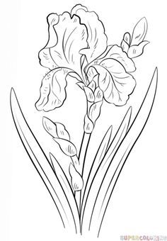 How to draw an iris flower | Step by step Drawing tutorials                                                                                                                                                      More