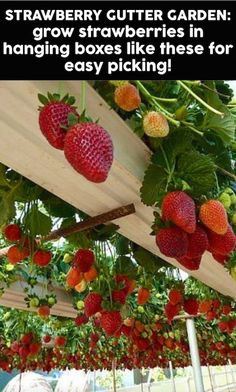 This is called a Strawberry Gutter Garden. As the strawberries grow, they hang down over your head for easy picking! Click the picture to learn how to make a strawberry gutter garden