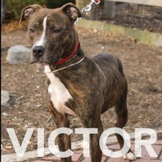 Victor has gone into a foster home but would still love a forever home. Call RAS 585.428.7274 if you would like to meet him.