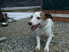 Meet Spunky a Petfinder adoptable Jack Russell Terrier Dog | Sharpsville, PA | Tan, white neutered male.  Est DOB 2007-2008.  Friendly, lively, Crate used.  Under 20 lbs....