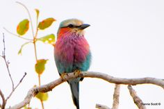 the Beautiful Lilac breasted Roller Stunning African bird would be an amazing watercolour tattoo
